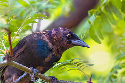 Ominous Molting Grackle Art Print by Bill Tiepelman