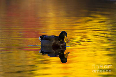 Mallard Duck Photograph - On Golden Waters by Mike  Dawson