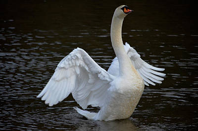 Pinion Photograph - On Swan Wings by Brian Stevens