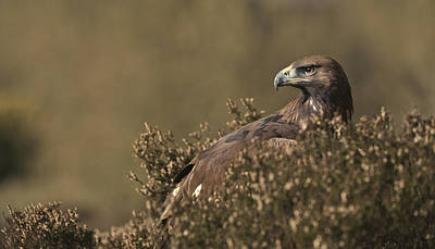 Eagle Photograph - On The Lookout by Andy Astbury