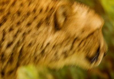 Photograph - On The Prowl by Kurt Weiss