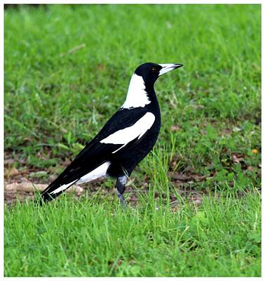 Photograph - One Alert Down Under Magpie by Frank Wickham