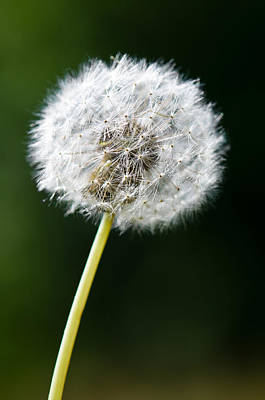 Colorful Dandelions Photograph - One Dandelion Flower Isolated  by Ulrich Schade