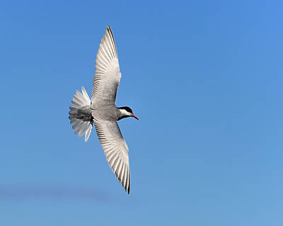 Photograph - One Good Tern Deserves Another by Tony Beck