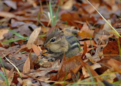 Chipmunk Photograph - One More Acorn Chipmunk - C3011c by Paul Lyndon Phillips