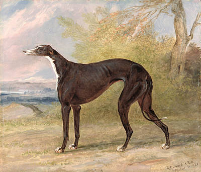 Greyhound Painting - One Of George Lane Fox's Winning  by George Garrard