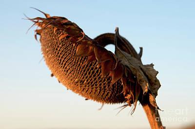 Dried Photograph - One Sunflower Head Wilted by Bernard Jaubert