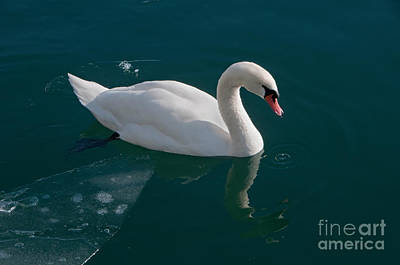 One Swan A-swimming Art Print