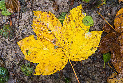 Photograph - One Yellow Autumn Leaf by Matthias Hauser
