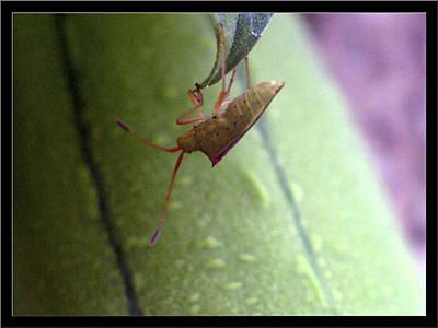Photograph - Onefourthinchbabystinkbug1 2002 by Glenn Bautista