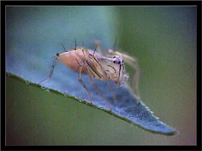Photograph - Onesixteenthinchorangespider2 2002 by Glenn Bautista