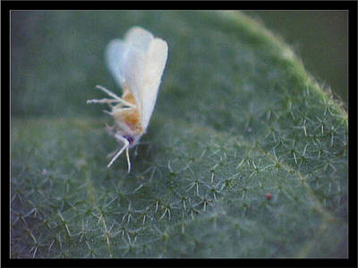 Photograph - Onesixteenthinchwhiteaphid1 by Glenn Bautista