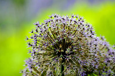 Photograph - Onion Flower  by Douglas Pike