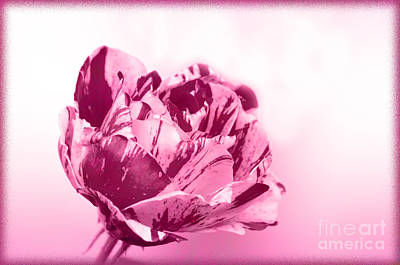 Photograph - Only A Rose by Jim And Emily Bush