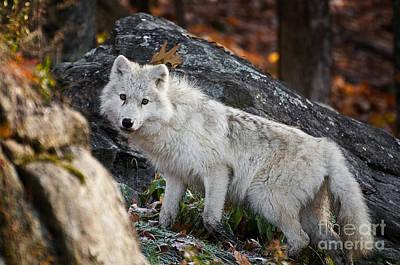 Black. Arctic Wolf Photograph - Onthe Rocks by Michael Cummings