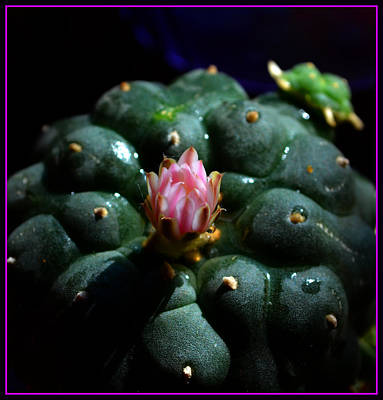 Opening Peyote Flower Art Print