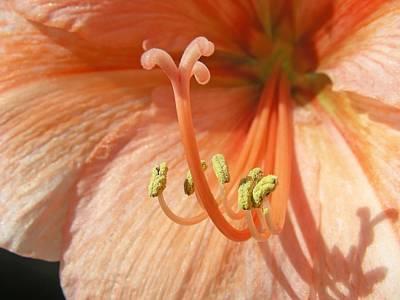 Orange Amaryllis Art Print by Mary Lane