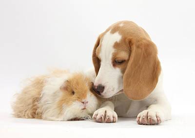 Orange-and-white Beagle Pup And Alpaca Art Print