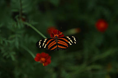 Photograph - Orange And White Butterfly by Van Corey