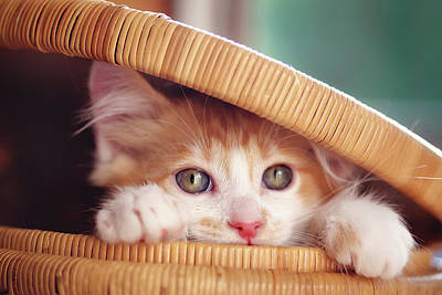 Orange And White Kitten In Basket Art Print by Sarahwolfephotography