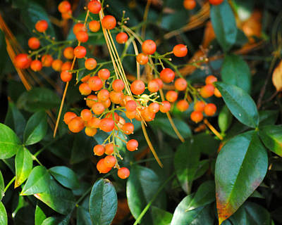 Photograph - Orange Berries I by Jai Johnson