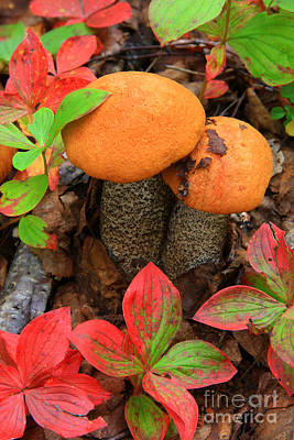 Photograph - Orange Birch Bolete by Frank Townsley