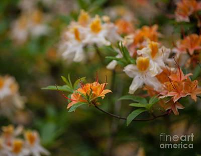 Rhodie Photograph - Orange Brilliance by Mike Reid