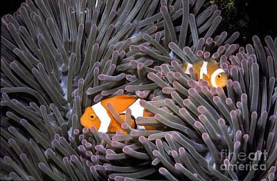 Clown Fish Photograph - Orange Clownfish In An Anemone by Greg Dimijian