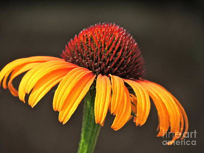 Art Print featuring the photograph Orange Crown by Eve Spring