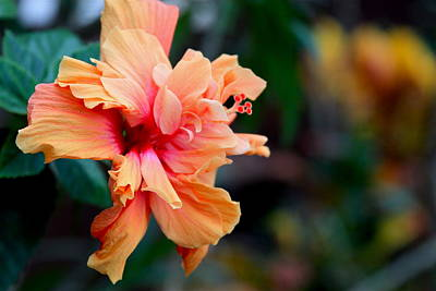 Photograph - Orange Crush Double Hibiscus by Karon Melillo DeVega