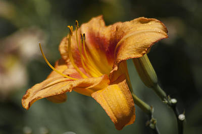 Photograph - Orange Day Lily by Jason Pryor