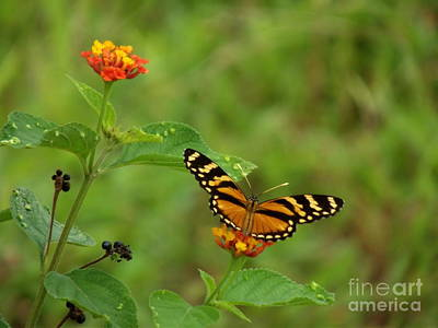 Butterfly In Motion Photograph - Orange Flash by William Patterson