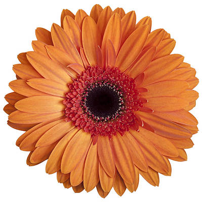 Photograph - Orange Gerbera Daisy On White Background II by Zoe Ferrie