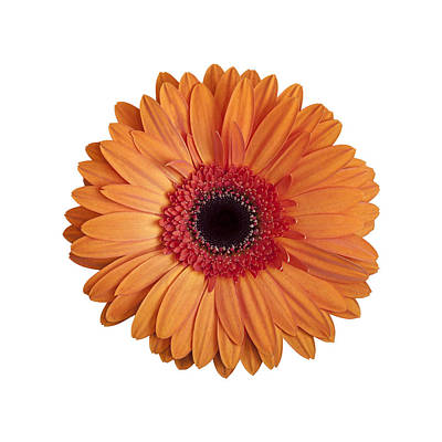 Photograph - Orange Gerbera Daisy On White Background by Zoe Ferrie