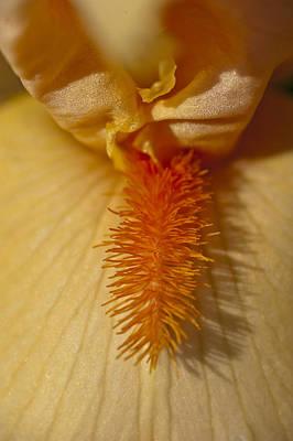 Photograph - Orange Iris by Rick Hartigan