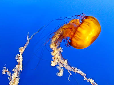 Photograph - Orange Jellyfish by Eva Kondzialkiewicz