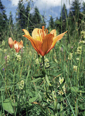 Lilium Bulbiferum Photograph - Orange Lilies by Paul Harcourt Davies