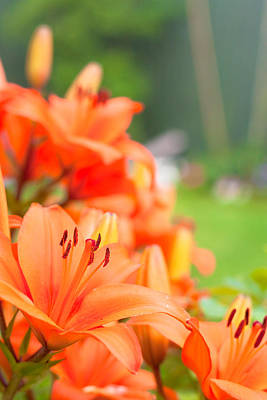 Orange Lillies Art Print by Tom Gowanlock