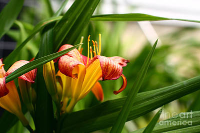 Art Print featuring the photograph Orange Lily by Denise Pohl