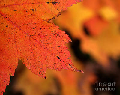 Orange Maple Leaf Art Print by Chris Hill