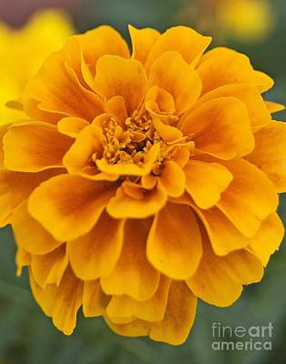 Orange Marigold Art Print