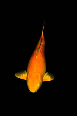 Photograph - Orange Ogon Koi by Chua  ChinLeng