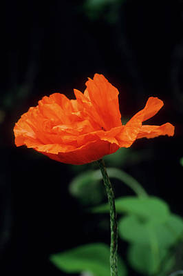 Photograph - Orange Poppy by John Brink