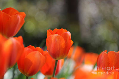 Photograph - Orange Red Tulips by Nicholas Burningham