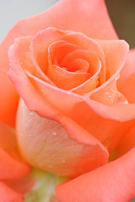 Orange Rose Original