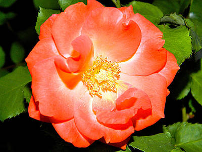 Art Print featuring the photograph Orange Rose  by Ester  Rogers