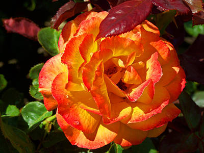 Photograph - Orange Rose by Tikvah's Hope