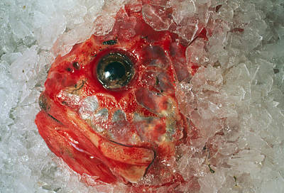 Orange Roughie Packed In Ice After Being Caught Art Print by Sinclair Stammers