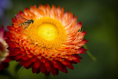 Photograph - Orange Straw Flower With Guest by Clare Bambers