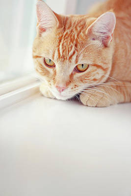Window Sill Photograph - Orange Tabby Cat On White Window Sill by Kellie Parry Photography